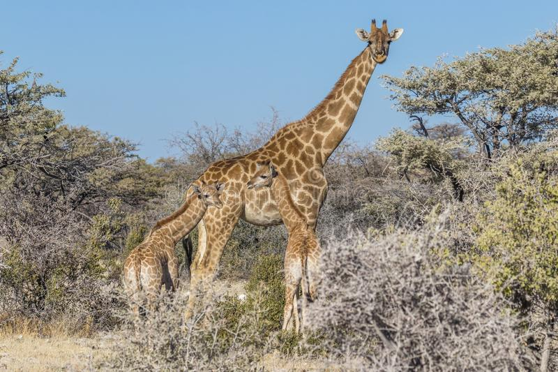 En modergiraffGiraffa Camelopardalis med två behandla som ett barn, den Etosha nationalparken, Namibia royaltyfria foton