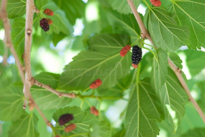 En mogen mullbärsträd som är klar att väljas på våren royaltyfri fotografi