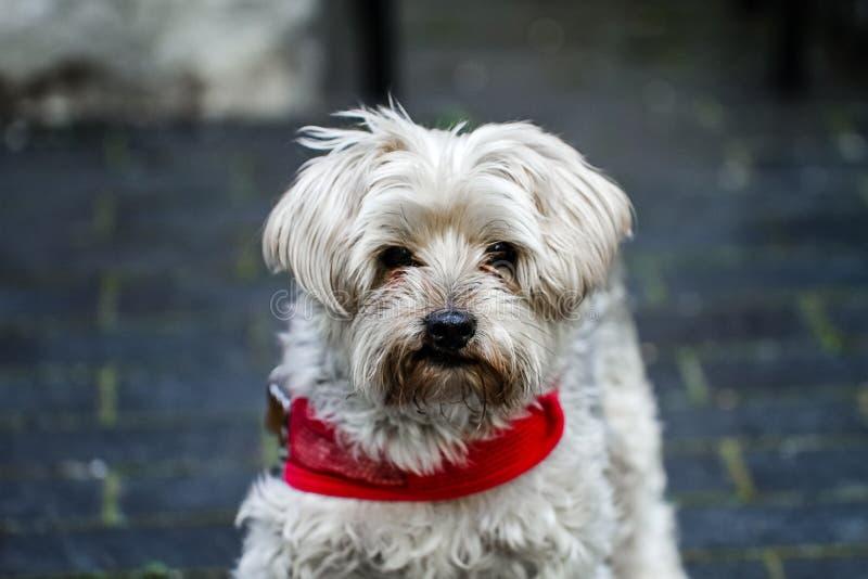 En mogen yorkie som utomhus bär en röd krage Ett älskat familjhusdjur under många år i en älska miljö och ett härligt hem och royaltyfria foton