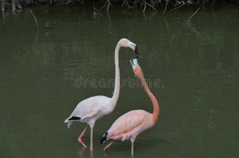 En morgon för romantiska Flamingous arkivfoto