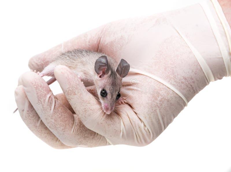 En mus - experimentellt djur fotografering för bildbyråer