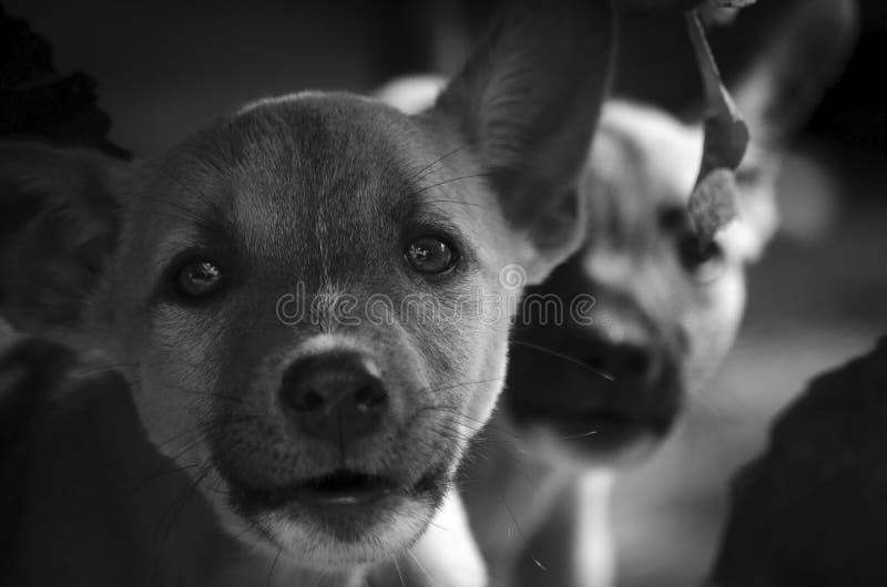 En mycket djup blick av en sådan liten hund för stillhet arkivfoto