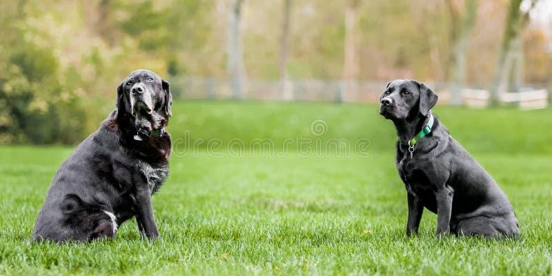 En mycket gammal och ung svart labrador som sitter mitt emot de med mycket utrymme mellan royaltyfri fotografi