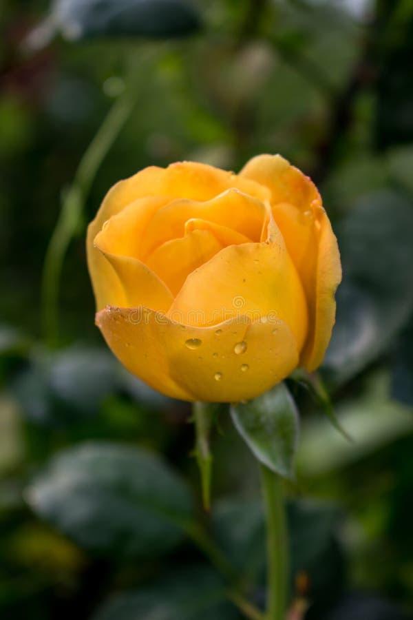 En mycket härlig gul ros med färgstänk av vatten efter en regnig dag Naturen är så underbar! Foto för descktopbakgrund, royaltyfri fotografi