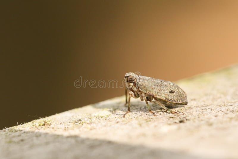 En mycket liten gullig Planthopper Issus coleoptratus som sätta sig på ett trästaket i skogsmark arkivfoto