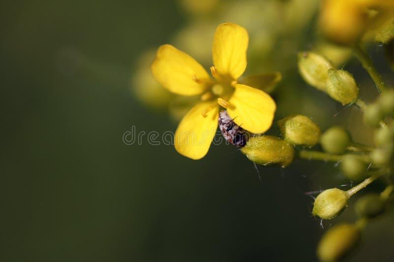 En mycket liten skalbagge som lite kryper på den gula blomman arkivbilder