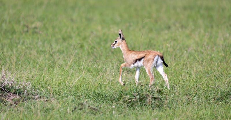 En mycket unga Thomson Gazelle i det kenyanska gräslandskapet arkivfoton