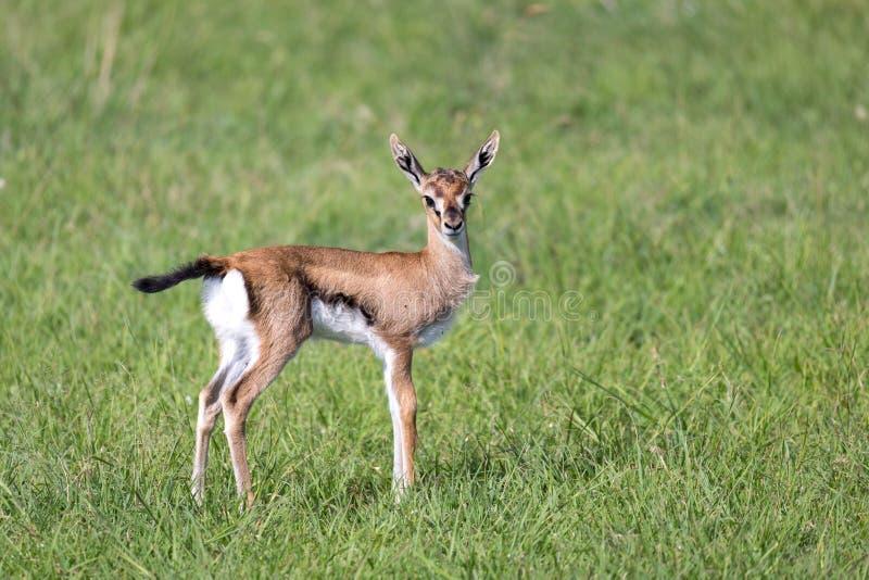 En mycket unga Thomson Gazelle i det kenyanska gräslandskapet royaltyfria foton