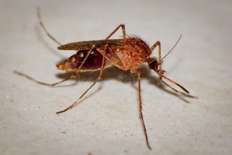 En mygga, eller en verklig mygga eller ensugande myggaLat vatten för pipiens för culexmelonmygga Selektivt fokusera royaltyfria bilder