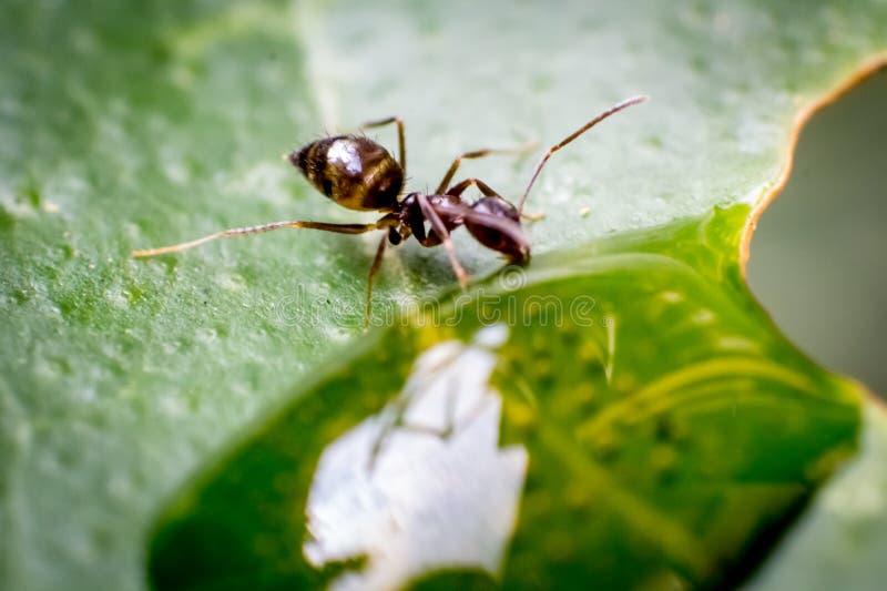 En myra på ett grönt blad som dricker från en droppe av vatten arkivbilder