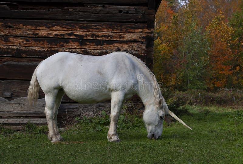 En mytisk enhörning betar i ett gräs- fält bredvid en ladugård i Kanada royaltyfri bild