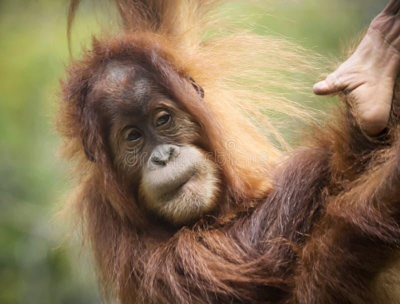 En nära stående av en ung orangutang royaltyfri bild