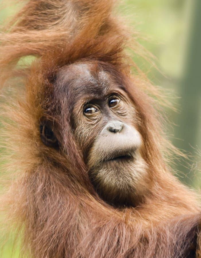 En nära stående av en ung orangutang royaltyfria foton