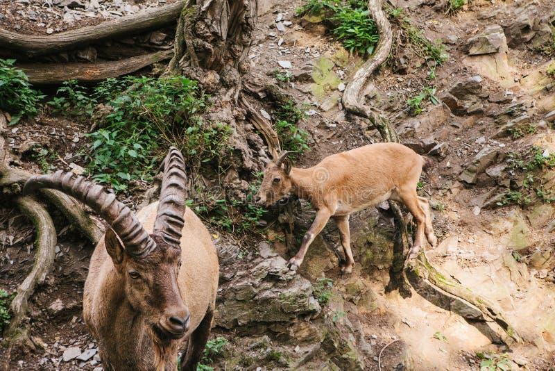 En närbild av en Caucasian bergsfår med enorma horn royaltyfri bild