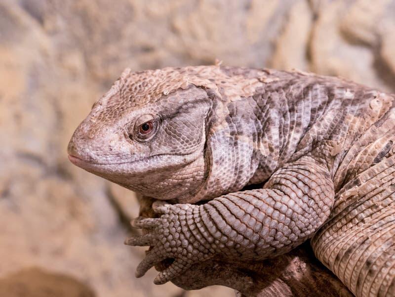 En närbild av en Savannah Monitor Lizard ** anmärkning: Nolla för grunt djup arkivfoto