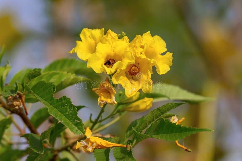 En närbild av ett bin som samlar in pollen och spindel på de gula blommorna arkivbilder