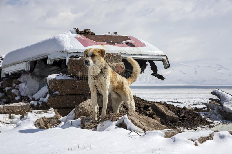 En närbild av ett kirgiziskt anseende för herdehund på stenar som omges av snö Resa i Kirgizistan fotografering för bildbyråer