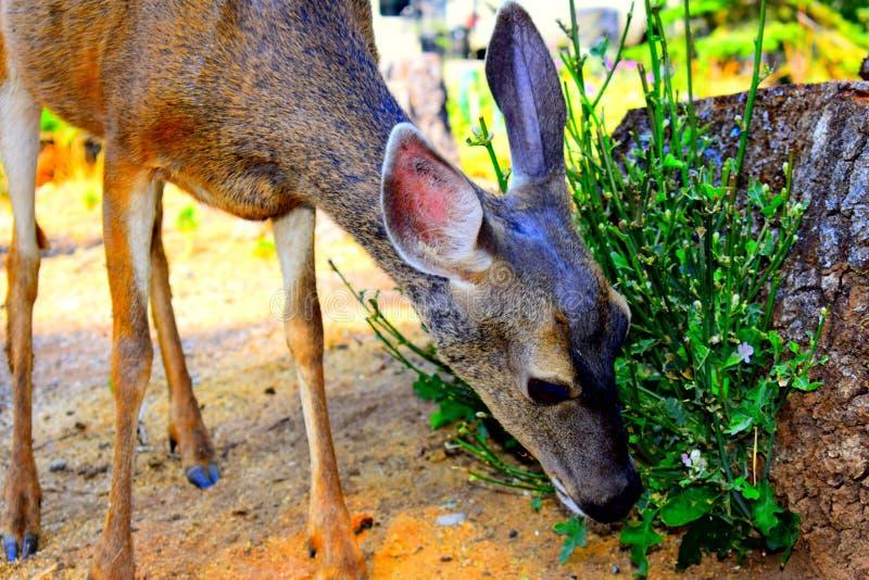 En närbild av en hjort som äter mistel royaltyfria bilder
