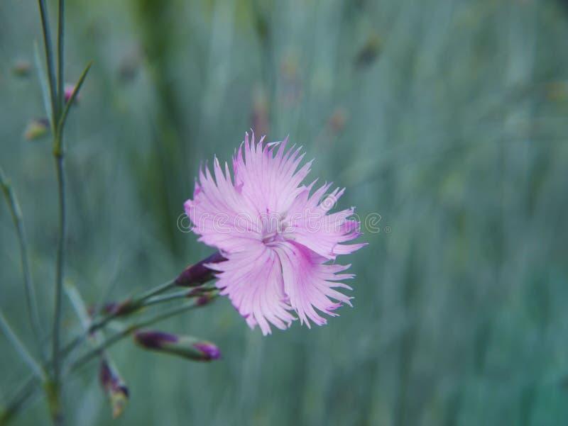 En närbild av en läcker blomma av jungfru- rosa färger på suddig bakgrund arkivfoton