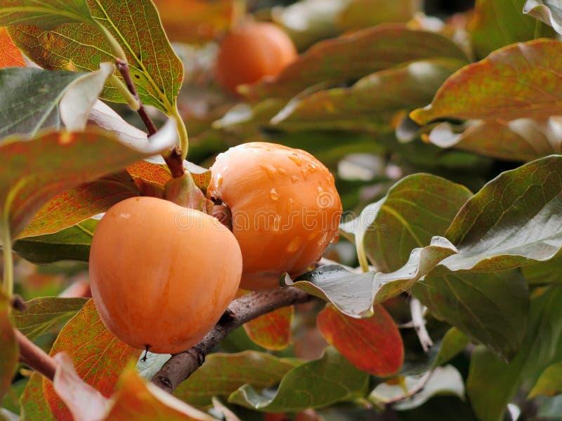 En närbild av mogna frukter för japansk persimon på ett träd efter höstregn royaltyfria bilder