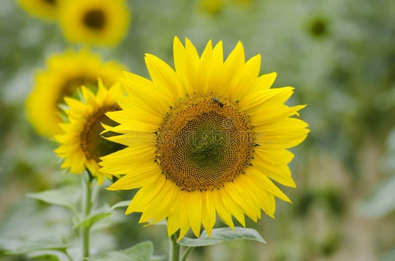 En närbildsikt av en solros och ett bi på ett solrosfält royaltyfria foton