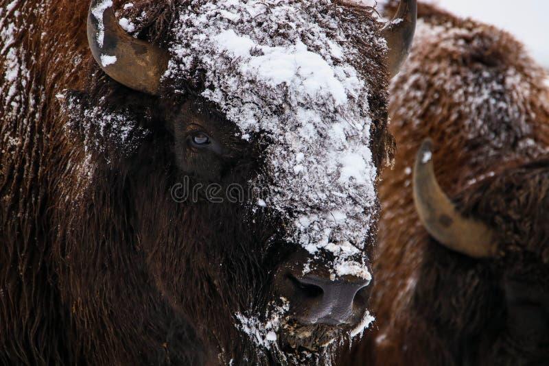 En närbildstående av den europeiska bisonbisonbonasusen i naturlig livsmiljö i vinter royaltyfria bilder