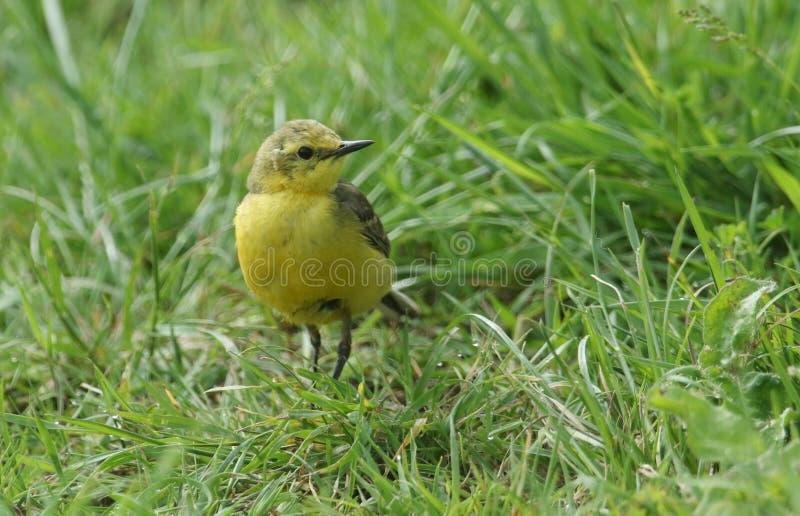 En nätt gul jakt för sädesärlaMotacillaflava för kryp i en gräs- äng arkivfoton
