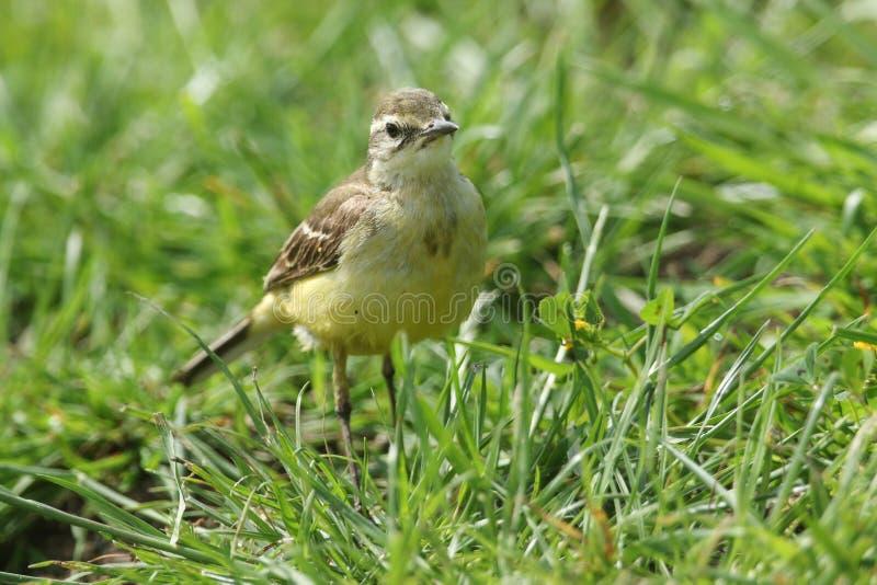 En nätt jakt för flava för Motacilla för kvinnliggulingsädesärla för kryp i en gräs- äng royaltyfri fotografi