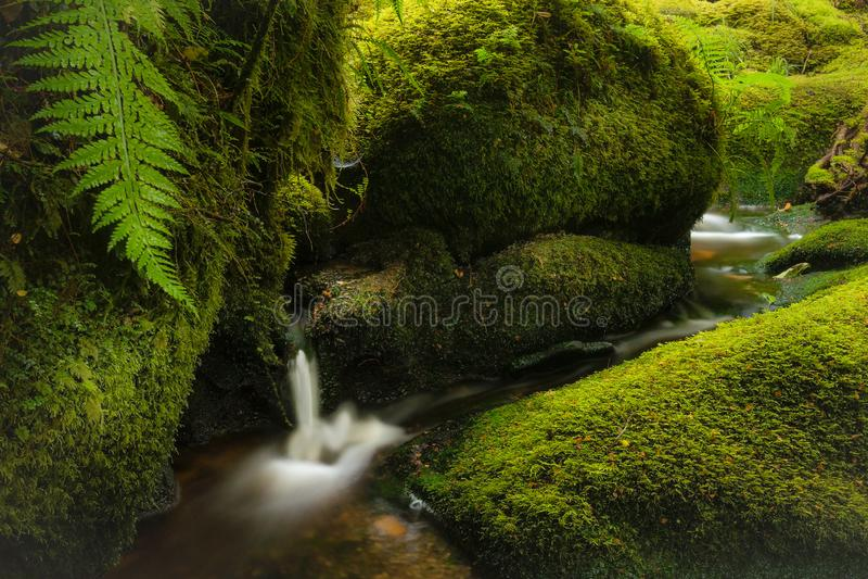 En nätt skogplats med en liten vattenfall och ström som omges av frodig grön mossa och ormbunkar royaltyfria foton
