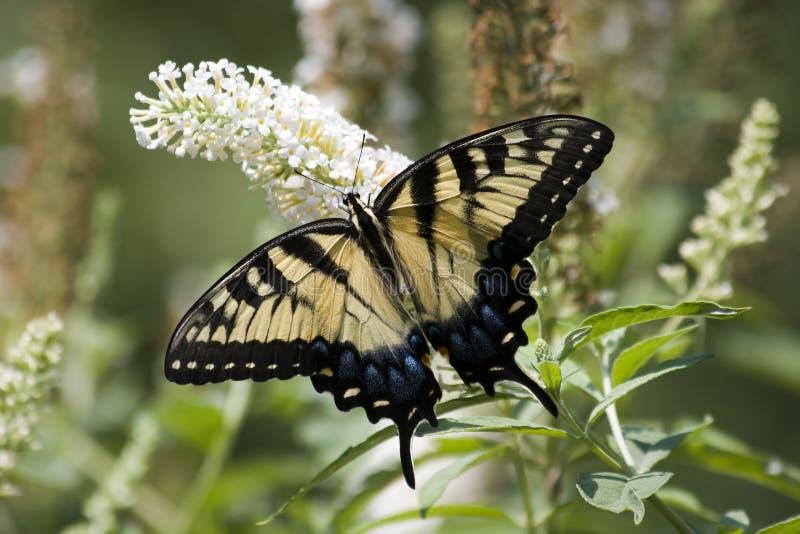 Swallowtail på vitfjärilen Bush arkivfoto