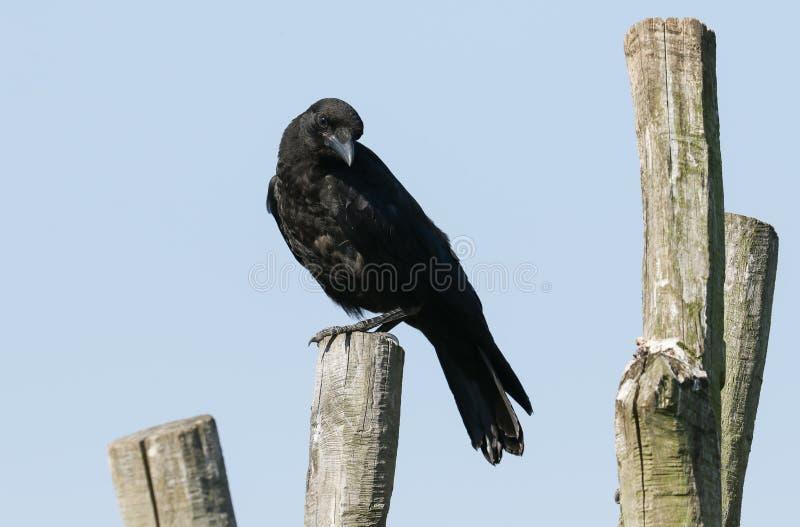 En nätt tonåring Carrion Crow, Corvuscoronen som sätta sig på en stolpe väntar det på, dess föräldrar att komma tillbaka och mata royaltyfri foto