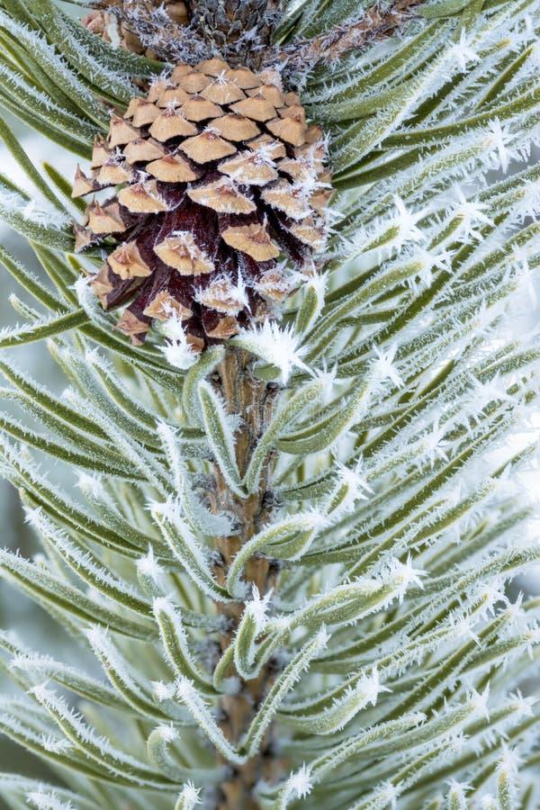 En naturaleza un cono del pino con helada en ella imagenes de archivo