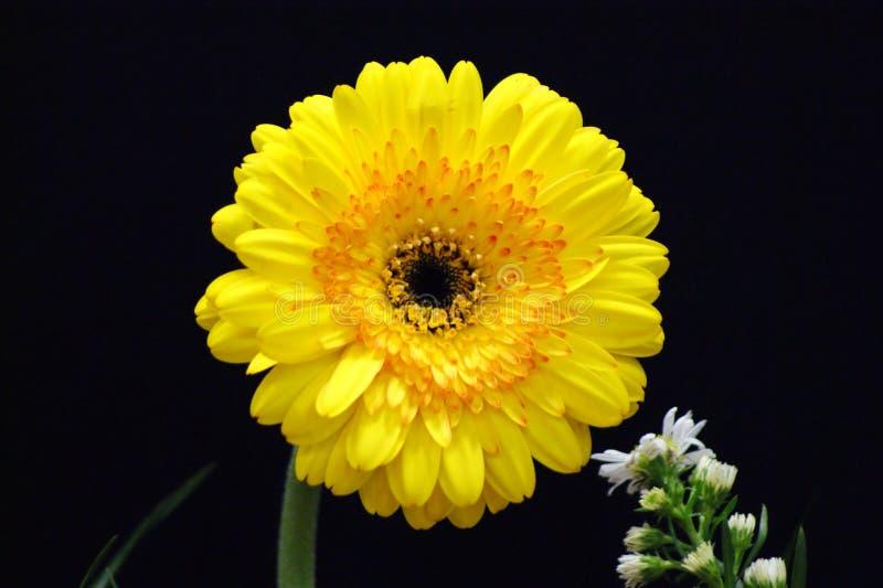 En naturlig sol, den gula blomman arkivfoton