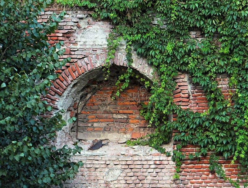 En nisch i en vägg för röd tegelsten som täckas delvis av en frodig tillväxt av mörker - grön murgröna royaltyfria foton