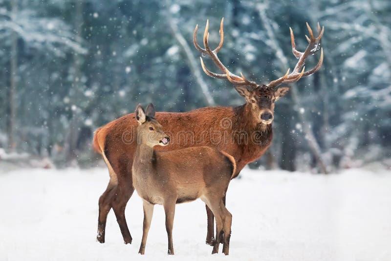 En nobel hjortman med kvinnlign i flocken mot bakgrunden av landskap för vinter för härlig vintersnöskog ett konstnärligt royaltyfri bild