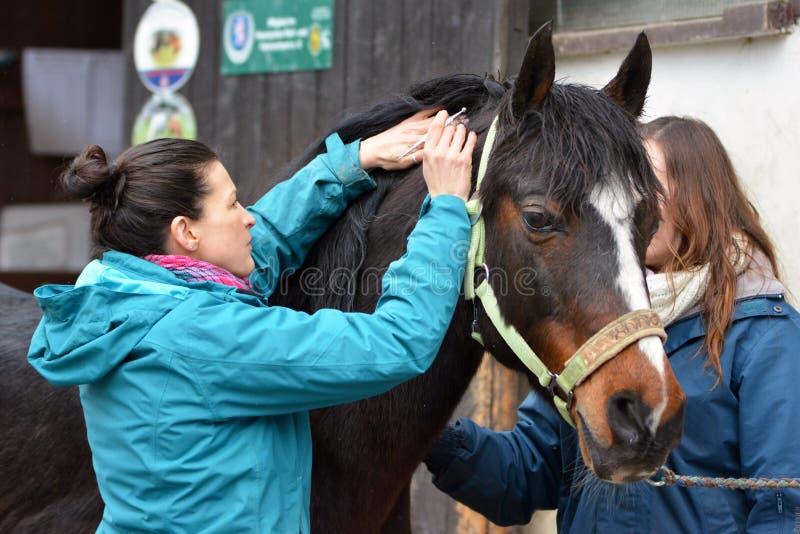 En non medicinsk veterinär- praktiker som utför en vård- undersökning på en liten häst arkivbilder