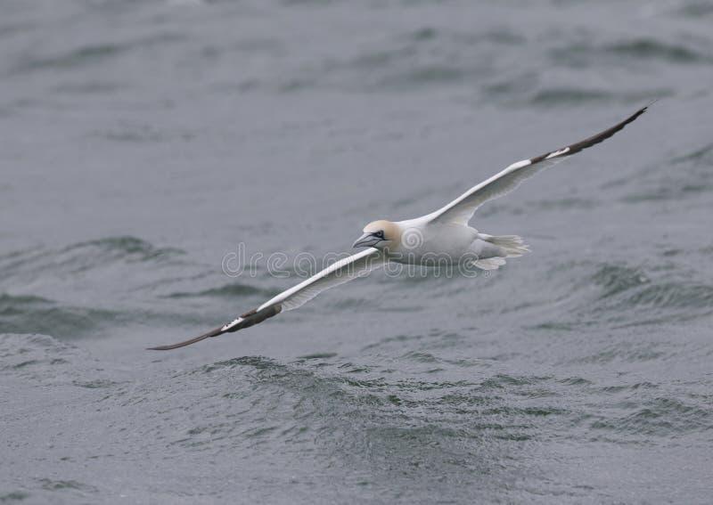 En nordlig havssulaMorusbassanus i flykten som trycker på nästan vattnet som jagar för fisk långt ut i Nordsjö royaltyfri fotografi