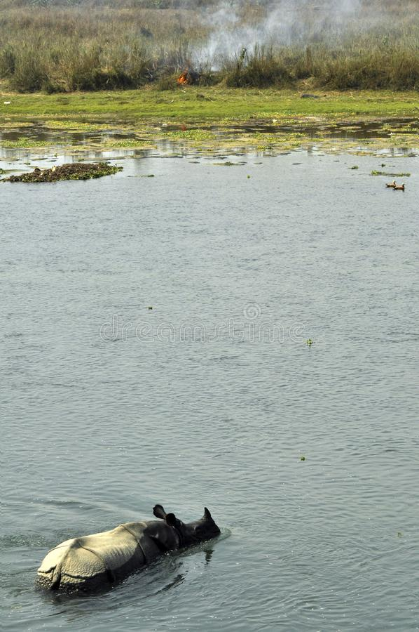 En noshörning i floden som äter gräs, på kusten, bränner royaltyfria bilder