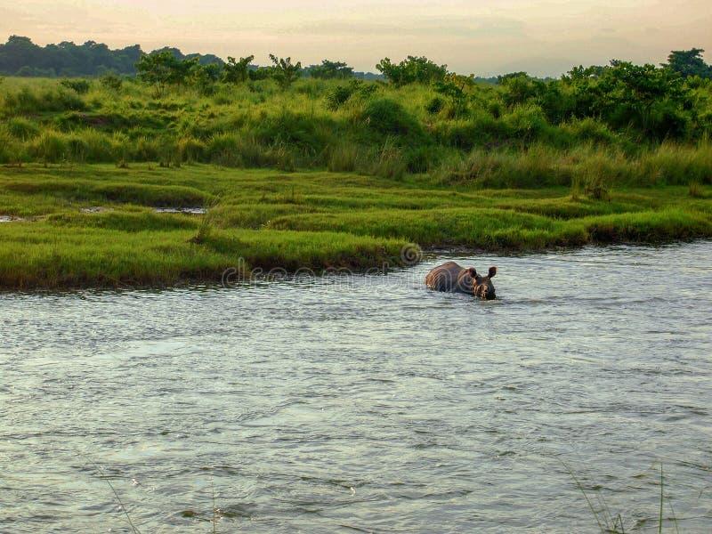 En noshörningbadning i Chitwan, Nepal arkivbild