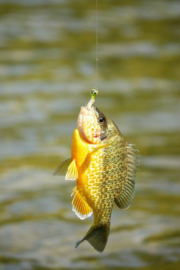 En ny fisk fortfarande på kroken arkivfoto