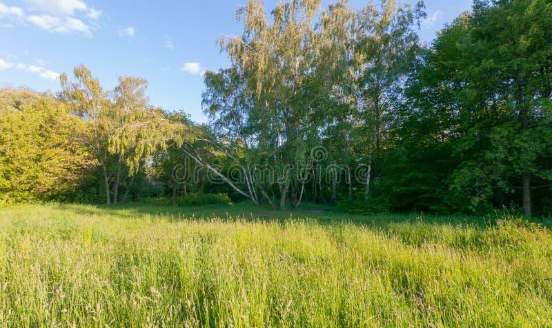 En ny grön gräsmatta på kanten av skogen i skuggan av en liten dunge av björkar som rör deras sidor under royaltyfri foto