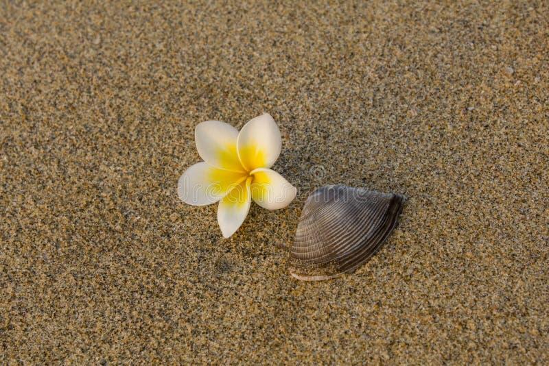 En ny vit gul frangipaniblomma och ett brunt skalslut upp lögn på den suddiga sanden arkivfoton