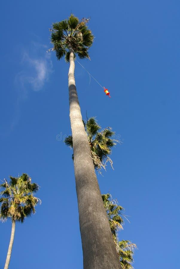En nyckfull sikt av en mycket högväxt palmträd med drakerad som fångas i överkant av trädet. arkivbilder