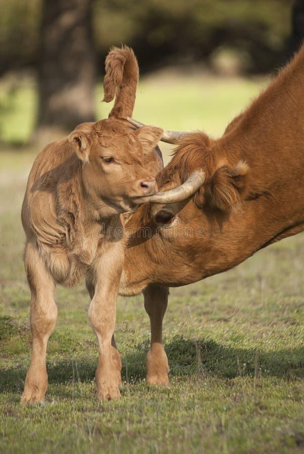 En nyfödd kalv och dess moder en ko royaltyfria foton