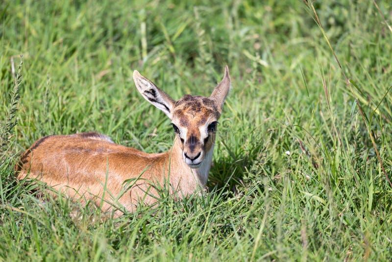 En nyfödda Thomson Gazelle ligger i gräset royaltyfria bilder