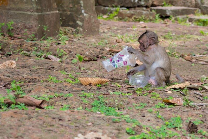 En nyfiken macaqueapa och en plast- f?rorening royaltyfria foton