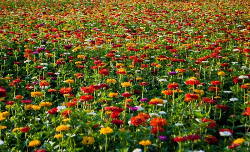 En oavkortad blom för regnbågefält royaltyfria foton