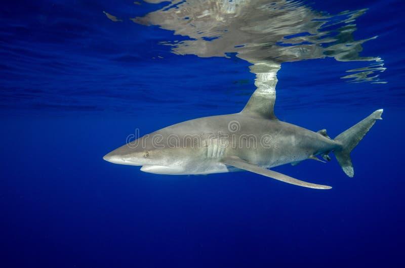 En oceanisk vit spetshaj och dess reflexioner i Bahamas royaltyfria foton