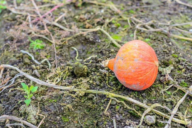 En orange pumpa som glömms i fältet royaltyfria foton