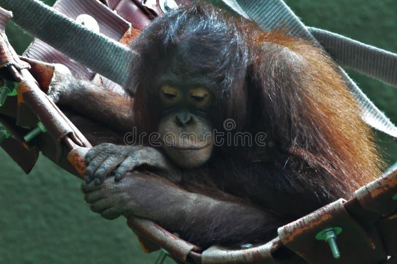 En orangutang i dess rede royaltyfria foton
